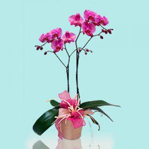 Orchidea Phalaenopsis media